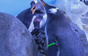 Same-sex penguin partnerships formed at London aquarium during mating season