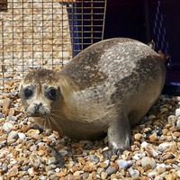 Vet's delight after rescued seal returned to the wild