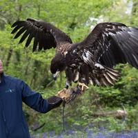 'Awe-inspiring' white-tailed sea eagle arrives on Isle of Wight