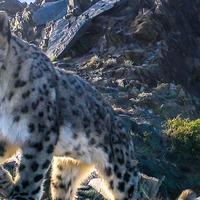 Majority of snow leopard habitat under-researched – report