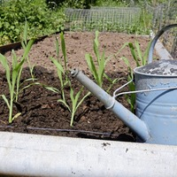 Gardening: When is it safe to plant out tender veg?
