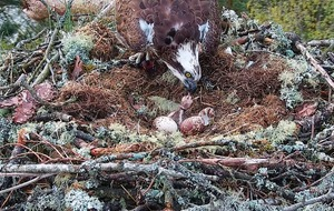 First osprey chick of season hatches at wildlife reserve