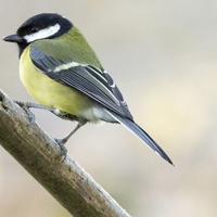 Urban great tits found to be genetically different from cousins in countryside
