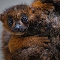 Rare lemur 'around the same weight as a banana' born at Chester Zoo