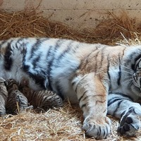 Endangered Amur tiger cubs born at wildlife park