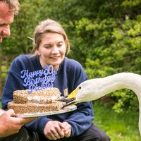 'Oldest swan in the UK' to celebrate 30th birthday