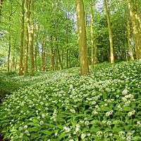Stephen Colton's Take On Nature: Mad Sweeney's pantry stocked with wild garlic