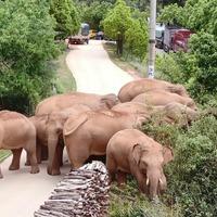 China's wandering elephants become global stars