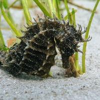 Diver spots rare seahorse off UK coast