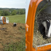 'Stormzy' the badger released into wild after being rescued from bad weather