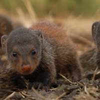 Mongoose mothers solve inequality problem, researchers find