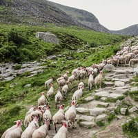 National Trust fits GPS trackers to sheep grazing in fire-hit Mournes