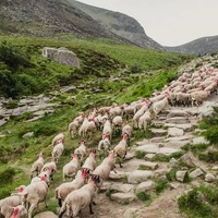 GPS trackers attached to grazing sheep to protect Mournes' wildfire recovery