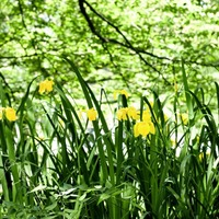 Stephen Colton's Take on Nature: Yellow Iris, a symbol of grace and nobility