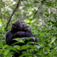 Travel: Where to see and support chimps in Africa