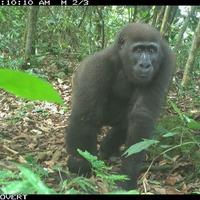 Camera trap images reveal rare gorillas and primates in Nigeria wildlife reserve