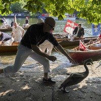 In Pictures: Swan Uppers take to the Thames for annual census