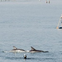Pod of dolphins delight beachgoers on north coast as they swim close to the shore