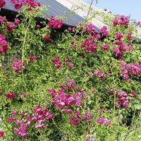 Casual Gardener: 'Roseglass' masterclass