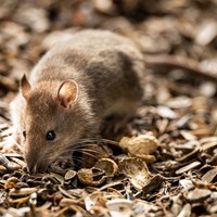 Male rats stick with friends but females less picky – study