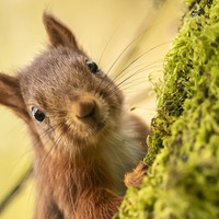 'Traffic may account for half of red squirrel deaths in some urban populations'