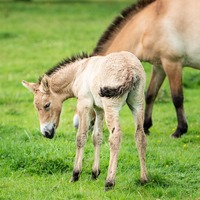Last species of 'truly wild' horse gives birth at Whipsnade Zoo