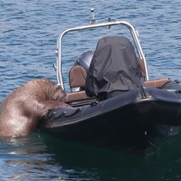 Wally the Walrus delights locals in seaside town