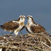 Breeding programme celebrates 200th chick since returning ospreys to England