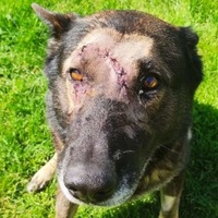 Police dog which was stabbed while apprehending suspect returns to duty