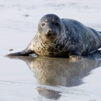 Take on Nature: Encounter with seal inspires reflection on the lure of the 'selkie'