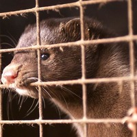 Farmed carnivores 'may become disease reservoirs posing human health risk'