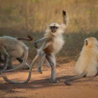 Dancing monkey and raccoon attempting a break-in among wildlife photo finalists