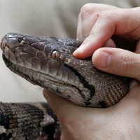 Modern snakes 'evolved from a few survivors of dinosaur-killing asteroid'