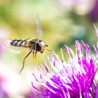 Hoverflies navigate using sun and body clock, study suggests