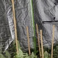 Cannabis worth £200,000 recovered in searches