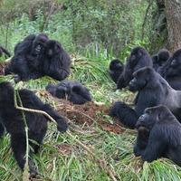 Gorillas keep their distance too, preventing disease spread