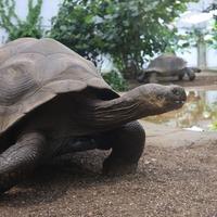 Giant tortoises enjoy housewarming party as new enclosure opens to public