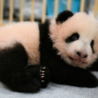 Giant panda cubs at Tokyo zoo given names ahead of public debut