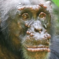 Leprosy confirmed in wild chimpanzees – study