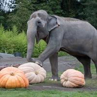 Endangered elephants pumpkin up the volume at US zoo