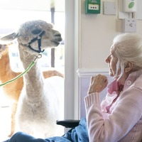Smiles all round as gentle alpacas pop in on elderly care home residents