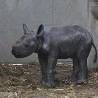 UK zoo welcomes birth of endangered black rhino